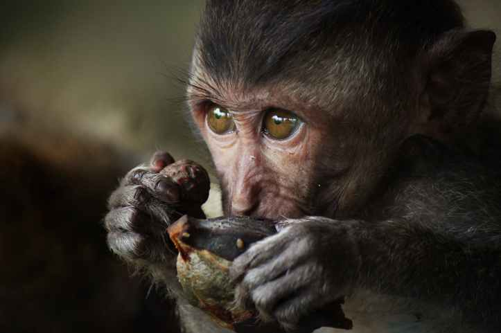 close up photography of monkey